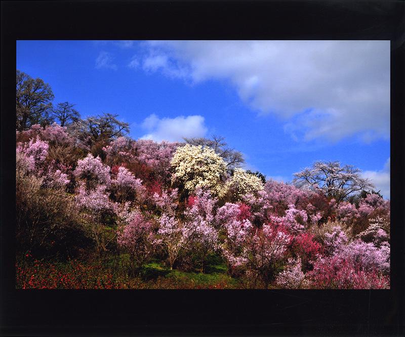第16回 花見山フォトコンテスト2021 - 福島県花見山のフォトコン情報